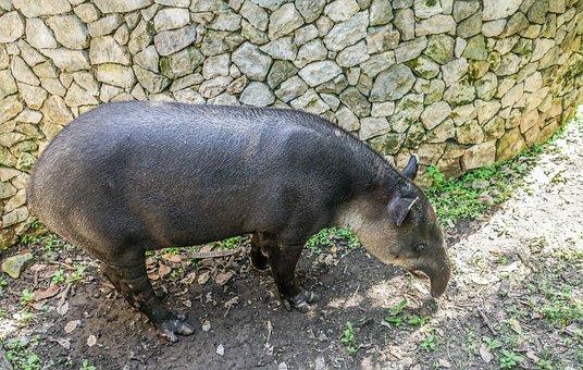 Tapir Animal, Wildlife, Nature, Mammal, Park, Creature