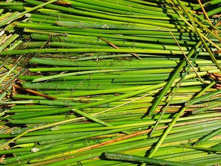 Reed, Totoraschilf, Rush, Green, Lake Titicaca, Peru