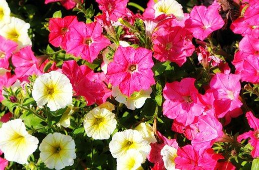 Flower, Petunia, Summer Wave Petunia, Floral, Nature