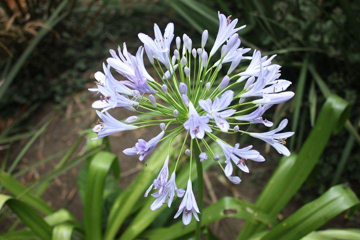 Agapanthus, Flower, Flora, Floral, Purple, Blossom