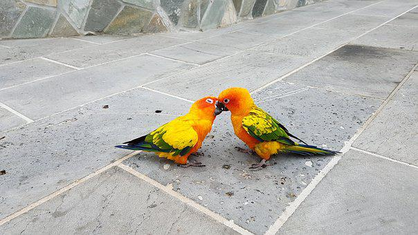 Parrots, Small Parrot, Fight, Kiss, Love Fights