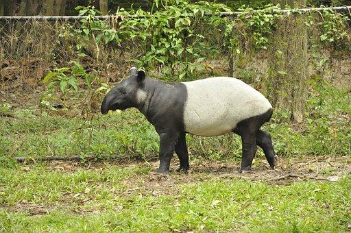Animals, Tapir, Mammal, Wild, Zoo, Wildlife, Nature