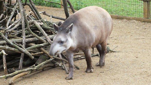 Animal, Zoo, Tapir