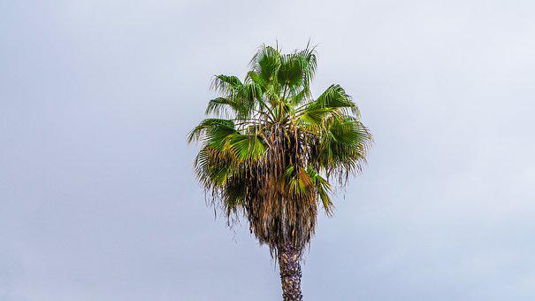 Palm, Tropics, Tenerife, Canary Islands, South