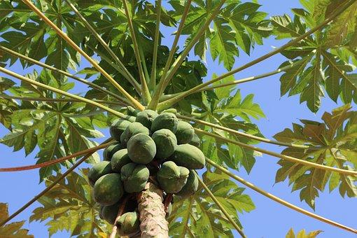 Papaya, Tree, Fruits, Exotic, Plant, Tropical, Fruit