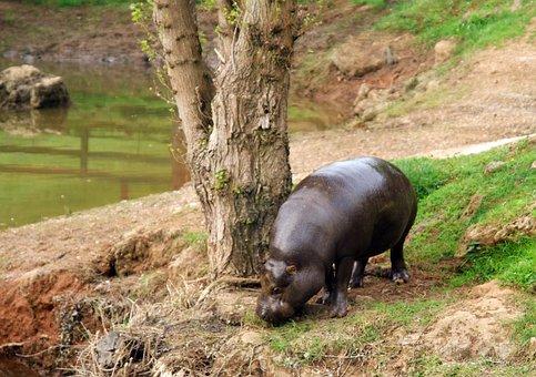Animals, Hippo, Pygmy, Water, Nature, Tree