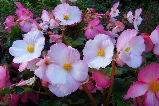 Begonia, Flowers, Pink, White, Petals, Blossoms, Blooms