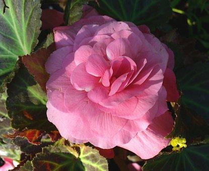 Flower, Begonia, Wildflower, Floral, Plant, Natural