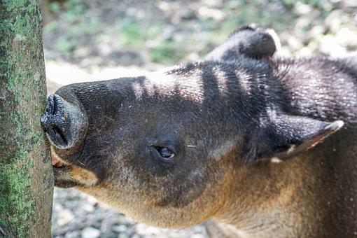 Tapir, Face, Eyes, Nose, Animal, Wildlife, Mammal