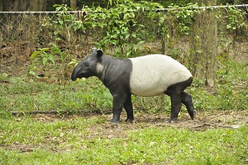 Animals, Tapir, Mammal, Wild, Zoo, Wildlife, Nature
