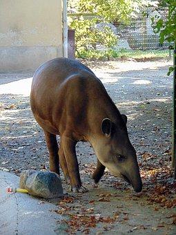 Animal, Tapir, Zoo