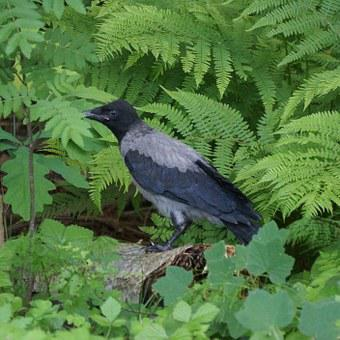 Crow, Corvus Corone Cornix, Bird