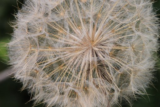 Blue, Close-up, Dandelion, Fluff, Officinale, Sky