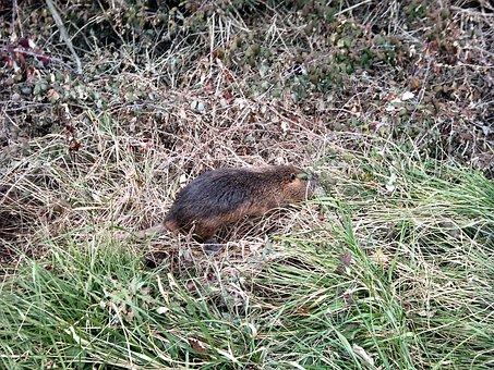 Musquash, Rat, Animal, Nature, Brown, Fluffy, Fur