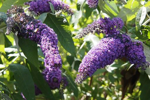Buddleia, Mauve, Spring, Shrub, Flower, Blossom, Purple