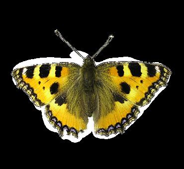 Isolated Butterfly, Butterfly, Butterfly Isolated