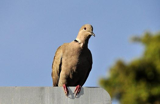 Dove, Bird, Animals, Birds, Nature, Feather, Plumage