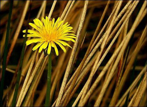 Dandelion, Flower, Roadside, Plant, Meadow, Yellow