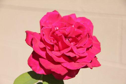 Rose, Flower, Deep Pink, Tea Rose, Full Bloom