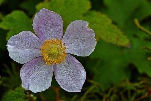 Anemone, Grapeleaf Anemone, Flower, Botanical, Mauve