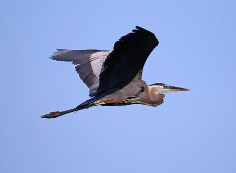 Great Blue Heron, Heron, Blue, Bird, Great, Wildlife