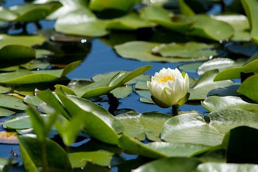 Aquatic, Flower, Herb, Lillies, Lily, Nature