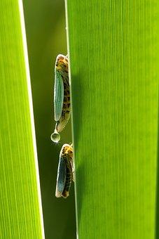 Leafhopper, Cicadella Viridis, Small Cigalle