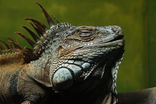 Iguana, Lizard, Reptile, Dragon, Zoo, Exotic, Luxury