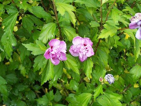 Hibiscus, Shrub, Hollyhock Bush, Mallow Bush, Mauve