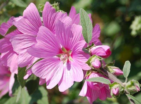 Mallow, Flower, Close-up, Mauve, Hibiscus