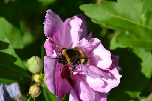 Bumblebee, Close-up, Hibiscus, Flower, Mauve, Pink
