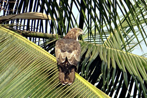 Black Kite, Milvus Migrans, Kite, Bird, Bird Of Prey