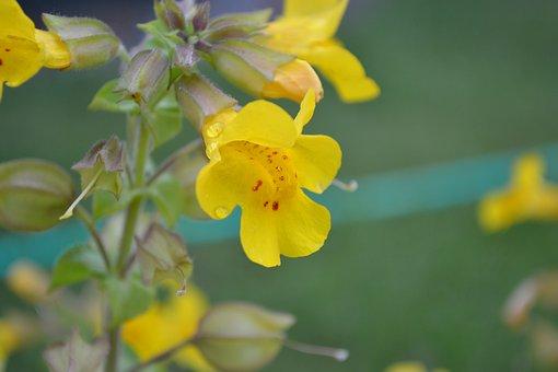 Mimulus, Monkey Musk, Monkey Flower, Yellow, Red Spots