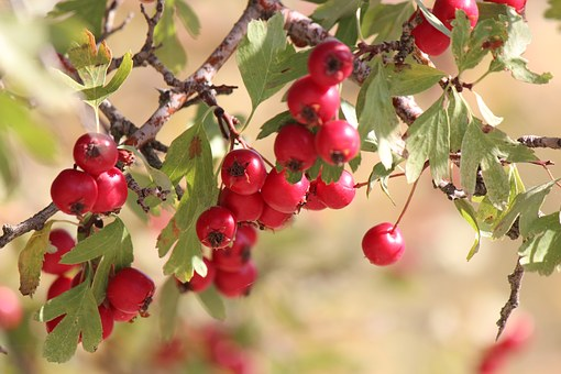 Hawthorn, Mountain Fruit, Red Fruit, Wild Hawthorn