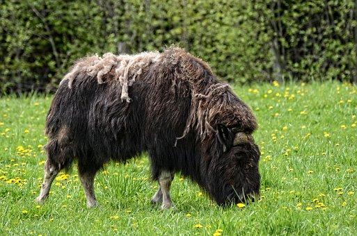 Muskox, Animal, Wildlife, Mammal, Nature, Grass, Musk