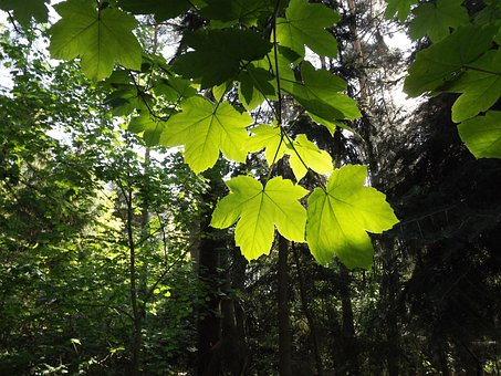 Maple, Ahonblaetter, May Green, Forest, Nature