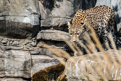 Leopard, Persian Leopard, Portrait, Wallpapper, Elegant