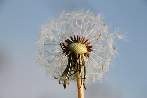 Dandelion, Nature, Close Up, Pointed Flower