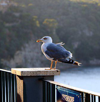 Seagull, Solitary, Sorrento