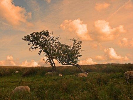 Moors, Yorkshire, Sheep, Sky, Tree, Grass, Field