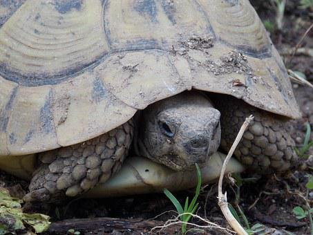 Tortoise, Land Turtle, Nature, Spring, Testudo Hermanni
