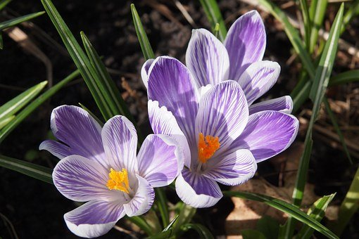 Crocus, Flower, Mauve And White, Springtime, Spring