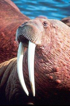 Rosmarus, Odobenus, Head, Male, Walrus, Animals, Fauna
