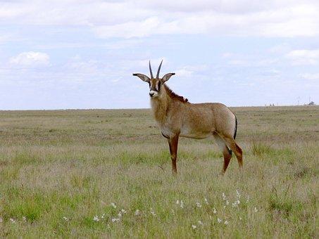 Buck, Antelope, Roan Antelope, Africa, South Africa