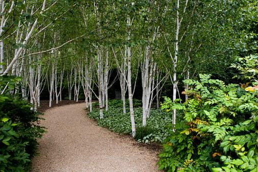 Birch, Trees, White, Barked, Grouped