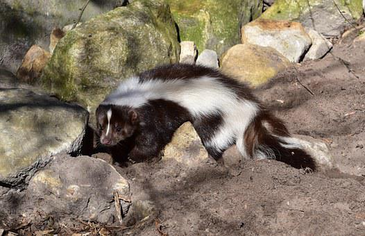 Skunk, Mammal, Black And White, Animal, Zoo, Fur