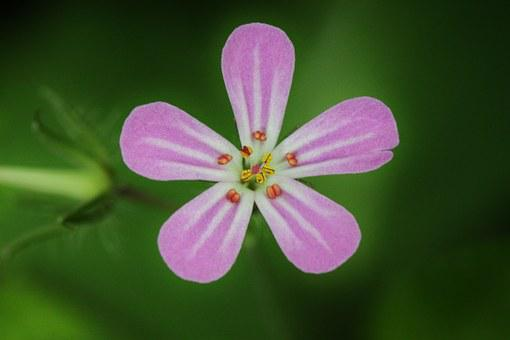 Blossom, Bloom, Flower, Cranesbill, Close, Plant, Macro