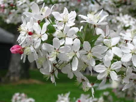 Crab Apple, Blooms, Spring, Blossom, Apple Tree Blossom