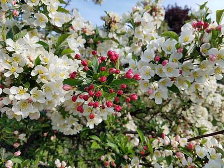Flowers, Crabapple, Blossom, Tree, Bush