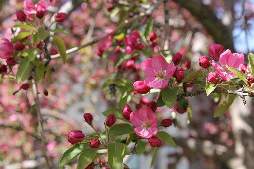 Crabapple, Pink, Tree, Flowering, Flower, Spring